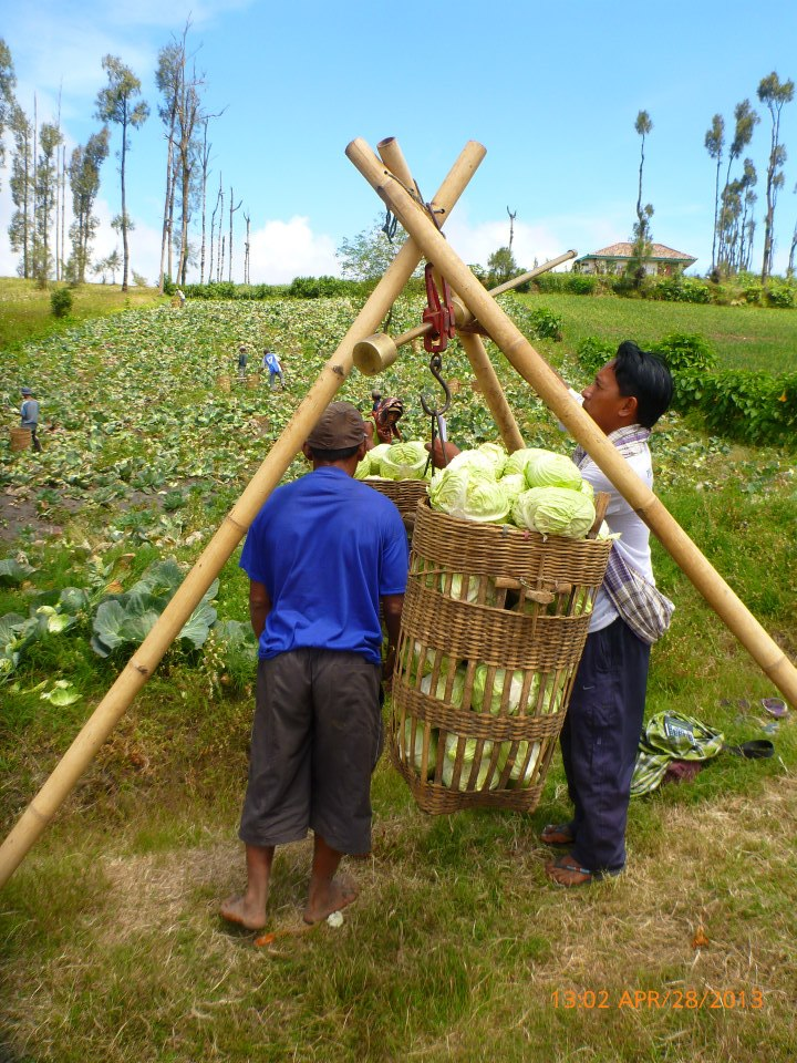 Walking through the village farms, including this one full of cabbage farmers