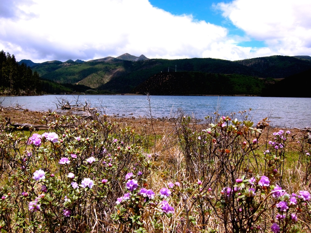 Blooming purple azaleas against Bita Lake and rolling hills