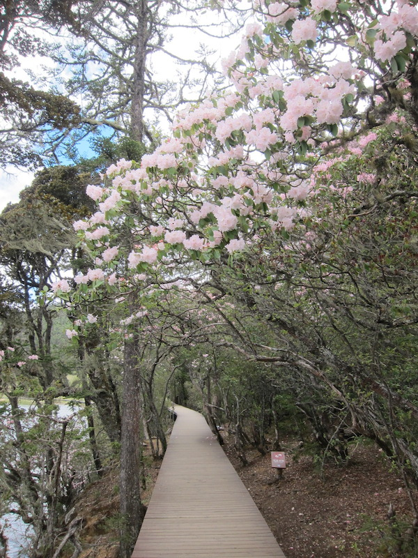 The boardwalk around the both lakes are filled with blossoming azaleas(杜鹃花)