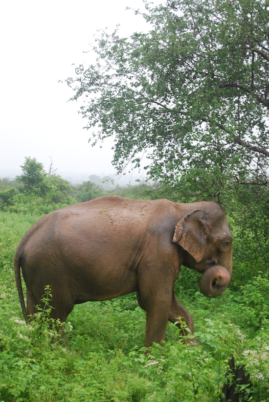 "Sri Lankan elephants - compared to their African counterparts - have smaller ears and no tusks. Also, they have a unique habit of dusking their food against their nails using their trunks to ""clean"" them before eating."
