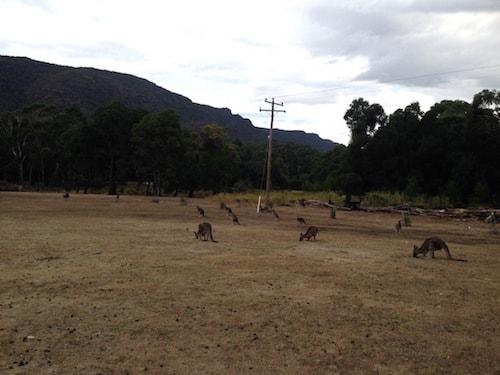 kangaroos-halls-gap