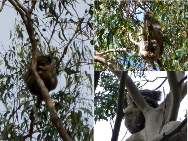 Wild koalas!!!