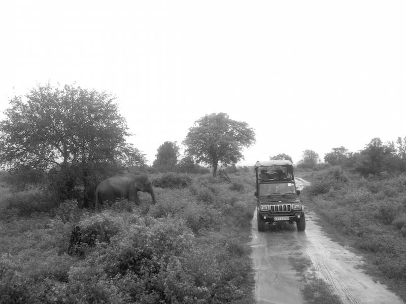 A safari jeep stopping beside a wild elephant in Udawalawe National Park