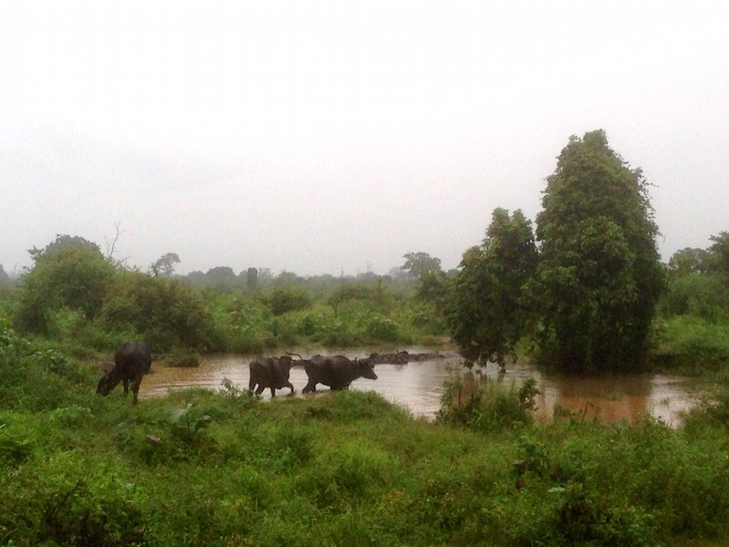 Buffaloes of Udawalawe